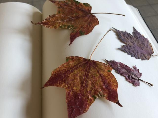Several leaves from trees in the Adirondack mountains.